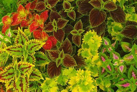 what is a coleus plant coleus plant how to grow coleus http plantgurus com gardening flowers coleus plant how to