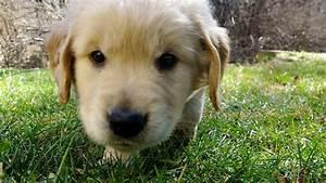 CUTEST Golden Retriever puppy EVER tries first creek leap ...