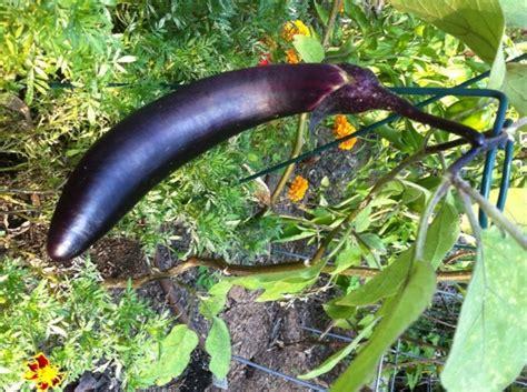 yiayias eggplant keftethes bonnie plants