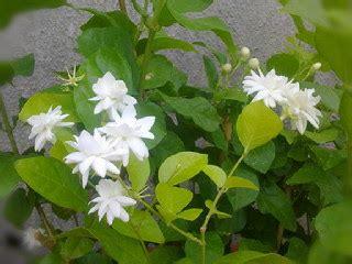 memperbanyak bunga melati pakar budidaya