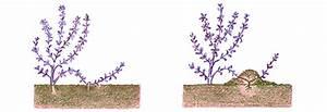 Rosen Selber Ziehen : lavendel vermehren ~ Lizthompson.info Haus und Dekorationen
