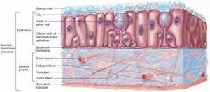 Mucous Membrane  Mucosa  Mucosal Tissue  Lamina Propria
