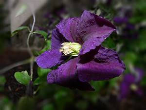 Pflanze Lila Blätter : kostenlose foto natur bl hen wei blume lila bl tenblatt foto sommer busch ~ Eleganceandgraceweddings.com Haus und Dekorationen