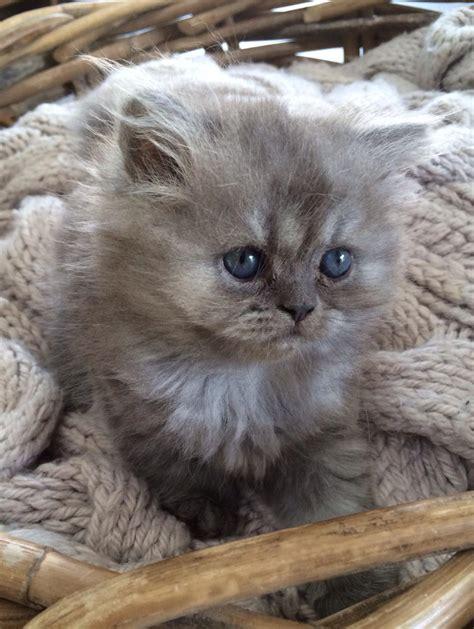 chat persan gris chats et chatons persans indre et loire 37
