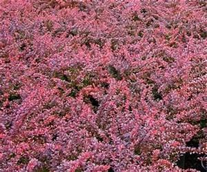 Berberis Thunbergii Atropurpurea Nana : barberry berberis thunbergii crimson pygmy 39 atropurpurea nana 39 from van essen nursery ~ Pilothousefishingboats.com Haus und Dekorationen