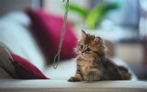 Most Beautiful Fluffy Cats Wallpapers Desktop Backgrounds