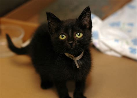 15 Black Cats Pictures… (and Meet My Cat)  Kitty Bloger