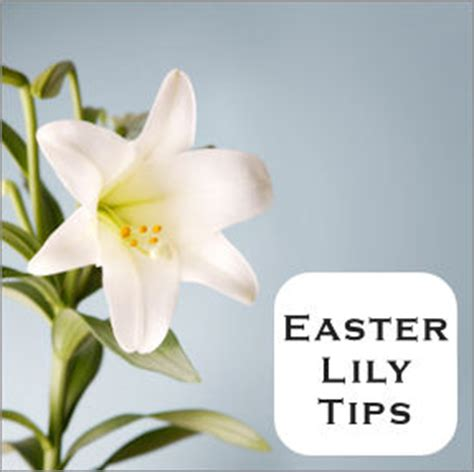 how to care for lilies indoors easter lily care tips for transplanting outdoors tipnut com