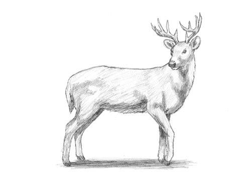 tailed deer animalstodraw