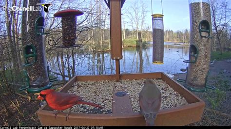 male cardinal feeds female on cornell lab feederwatch cam