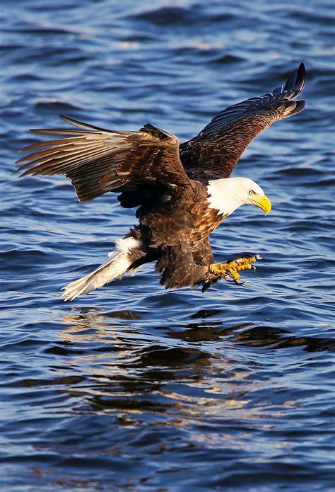 birds eagle wallpaper  iphone