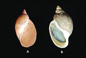 Coiling Of Gastropod Shell  Dextral Shell Of Lymnaea  B