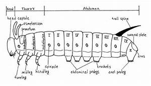 Caterpillars Anatomy Diagram Caterpillars
