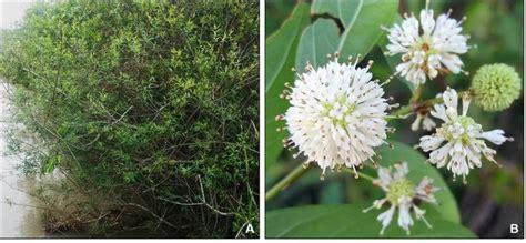 Cephalanthus glabratus. A-Aspecto geral da planta; B ...