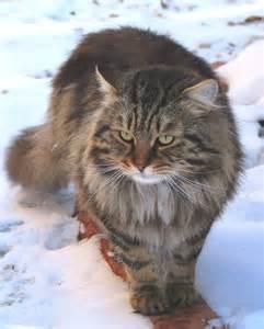 siberian forest cat yanislav