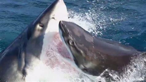great white shark fight caught  film newcastle herald