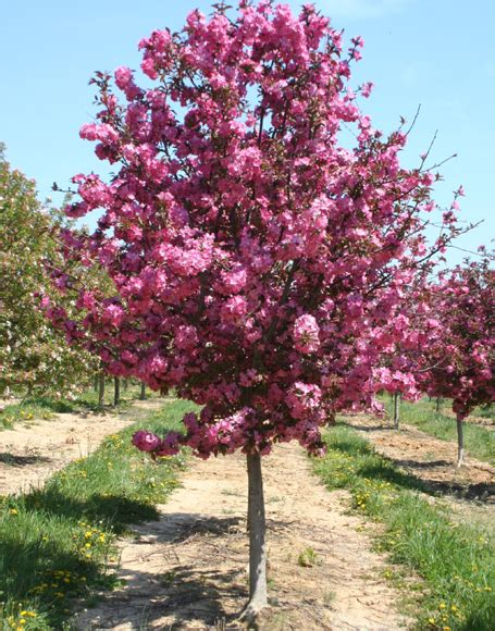pictures of crabapple trees trees prairie rose greenhouse nursery