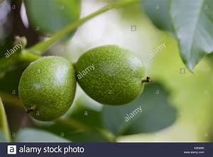 Alten Walnussbaum Schneiden : walnut tree branch stockfotos walnut tree branch bilder ~ Lizthompson.info Haus und Dekorationen
