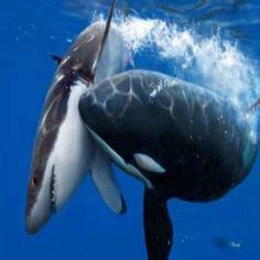 great white shark attacks  humans sharks eating people