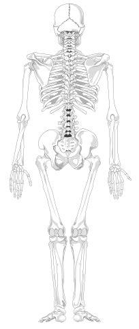 bestandhuman skeleton   text  colorsvg wikibooks