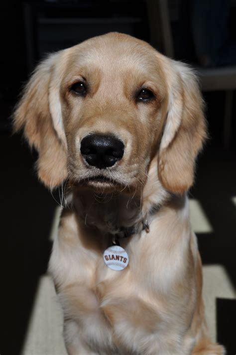 4125 Best Images About Animals Dog Golden Retriever On