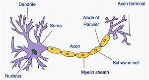 Myelin  U2013 The Clicker Center Blog