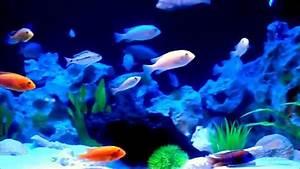 Aquarium Led Beleuchtung : malawi aquarium 500l mit led beleuchtung youtube ~ Frokenaadalensverden.com Haus und Dekorationen