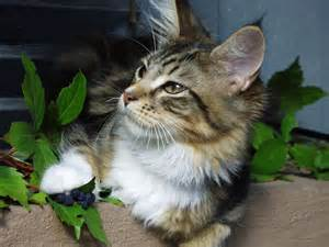 maine coon cat for cat picture and information