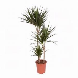 Plante Arbre D Interieur Plantes D Appartement Faciles