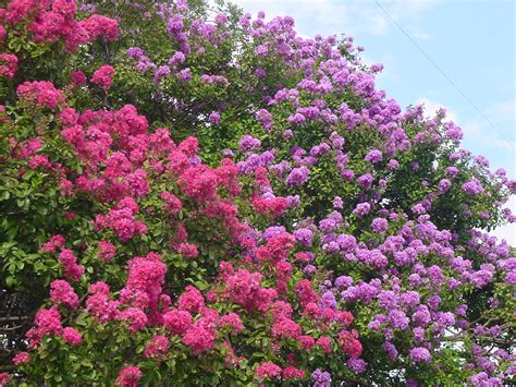 summer flowering trees plantanswers plant answers gt 12 months of watersaver landscape color july