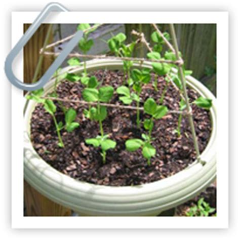 gardensonline articles growing vegetables  containers