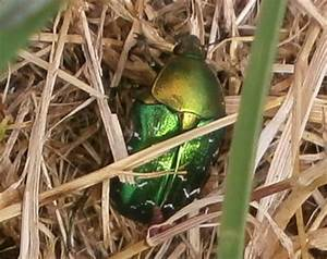 Käfer Im Garten : k fer der gr n ist wissenswertes zum rosenk fer ~ Lizthompson.info Haus und Dekorationen