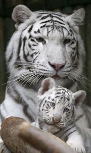 Pin by Endre Siko on z...animals | Tiger pictures, White ...