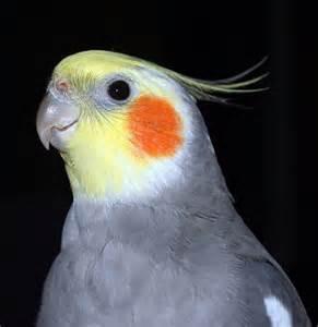 Male Cockatiel