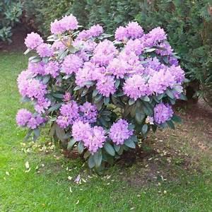 Wann Blüht Der Rhododendron : rhododendron sollten j hrlich geschnitten werden um ihre bl te zu f rdern garten garten ~ Eleganceandgraceweddings.com Haus und Dekorationen