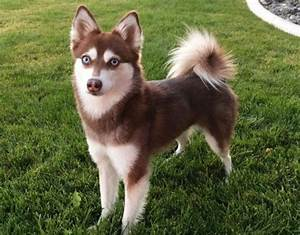 11 Dogs That Look Like a Fox | PetHelpful