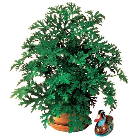 anti mosquito plants anti mosquito plant mosquito repelling plant miles kimball