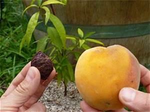 Planter Noyau Mangue : semis de noyaux exemple avec la p che ~ Melissatoandfro.com Idées de Décoration