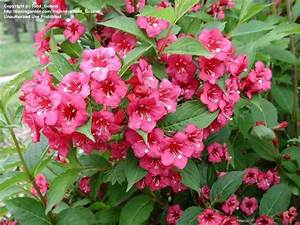 Weigela Bristol Ruby : plantfiles pictures weigela 39 bristol ruby 39 weigela ~ Michelbontemps.com Haus und Dekorationen