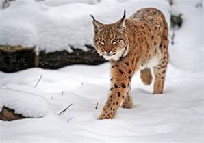 lynx cats lynx cat our world s view