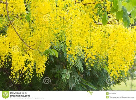 golden shower golden shower yellow blooming in garden royalty free