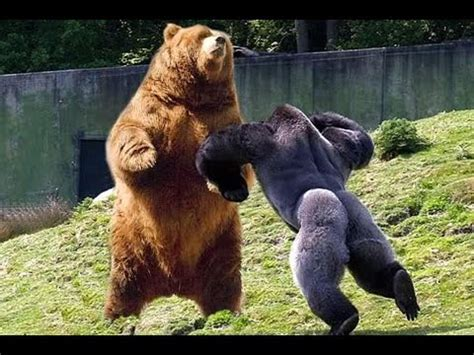Silverback Gorilla vs Grizzly Bear