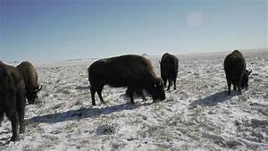 From Healer To Healed: Bison Roam Northern Colorado Plains ...
