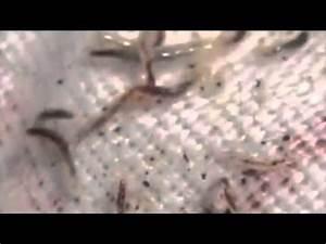 Cat Flea Larvae nasty - YouTube