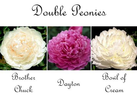 types of peony types of peony flowers home gardenhome garden