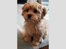 Beautiful Apricot Cavapoo puppies for sale *** Preston