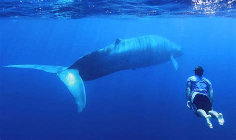 incredible moment blue whales emerge   deep