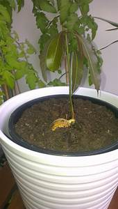planting - Can I plant this mango seed - Gardening ...