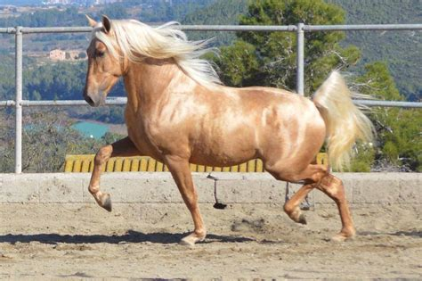 horse andalusian spanish pure horses breed spain history information horsebreedspictures