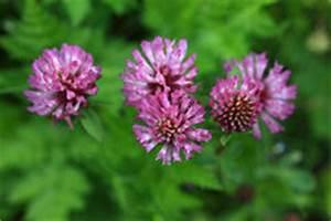 Roter Klee Im Rasen : gro e wiese des rosa klees stockfoto bild 35915500 ~ Lizthompson.info Haus und Dekorationen